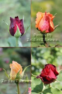 Фотосток – Цветущие розы
