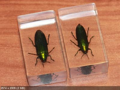 Насекомые №50 Златка (Chrysochroa fulminans) фото, обсуждение